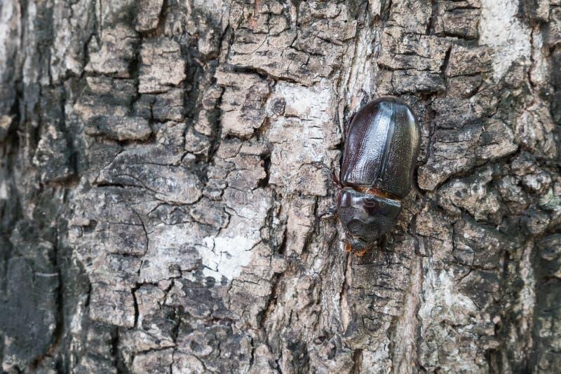 Escarabajo de rinoceronte masculino fotos de archivo libres de regalías