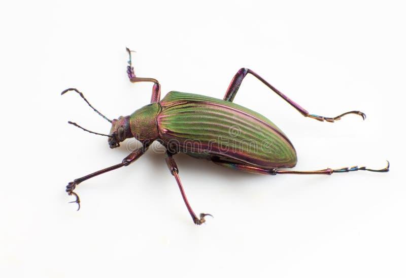 Escarabajo de tierra imagen de archivo