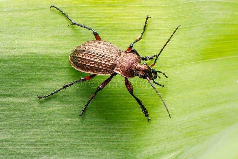 Escarabajo de tierra en una hoja verde clara imagen de archivo libre de regalías