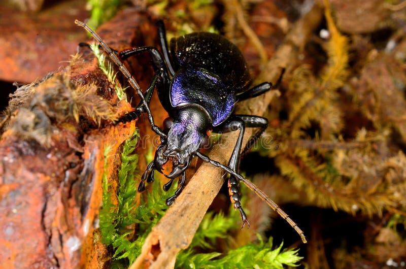 Escarabajo de tierra violeta fotografía de archivo