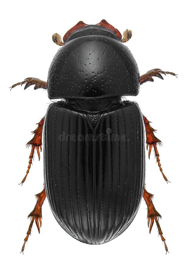 Escarabajo del escarabajo foto de archivo