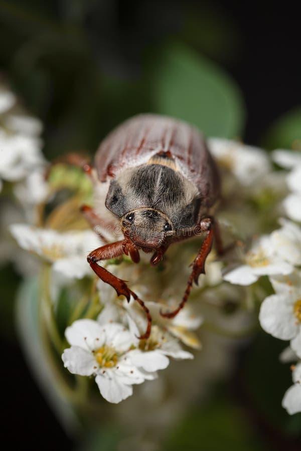 Escarabajo del abejorro en la flor blanca del espino imagenes de archivo