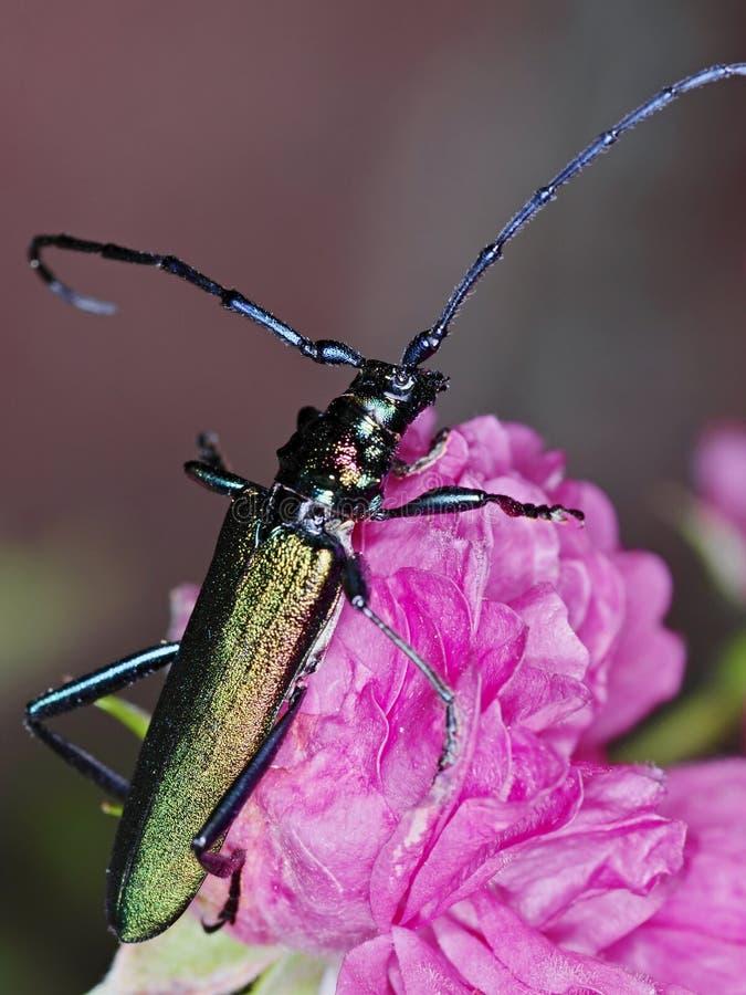 Escarabajo del almizcle fotos de archivo