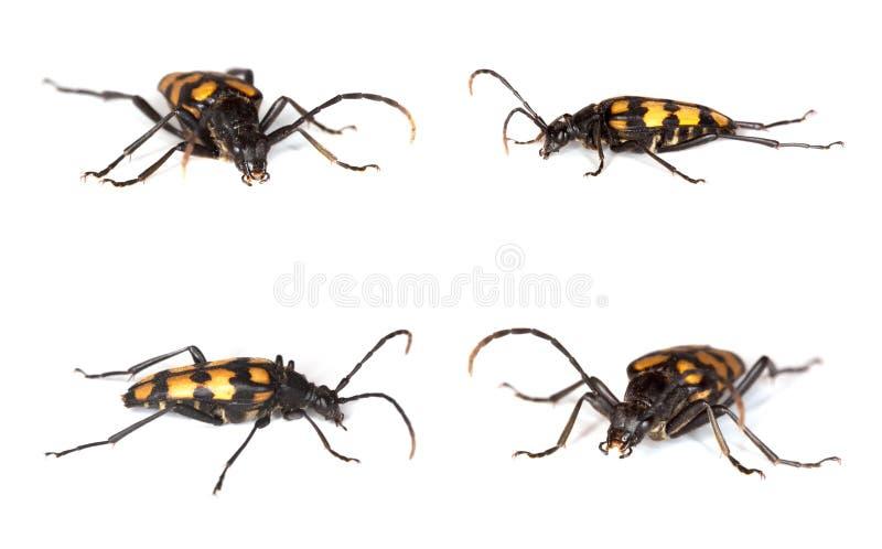 Escarabajo del Capricornio (quadrifasciata de Anastrangalia) imagenes de archivo
