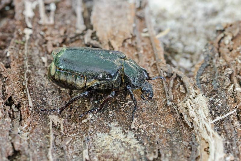 Escarabajo del ermitaño imagen de archivo libre de regalías