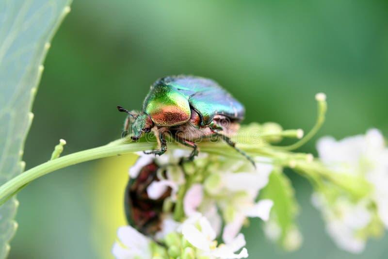Escarabajo del escarabajo imagenes de archivo