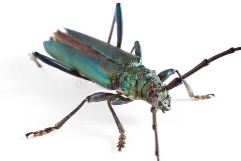 Escarabajo del fonolocalizador de bocinas grandes foto de archivo libre de regalías