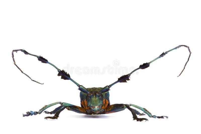 Escarabajo del fonolocalizador de bocinas grandes imágenes de archivo libres de regalías