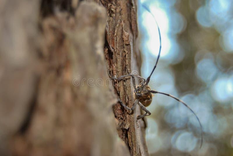 Escarabajo del fonolocalizador de bocinas grandes que se arrastra en el tronco de un árbol de pino Banda media de Rusia, verano fotos de archivo