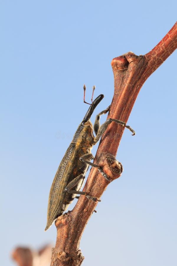 Escarabajo del gorgojo que sube en la ramita del árbol imagen de archivo libre de regalías