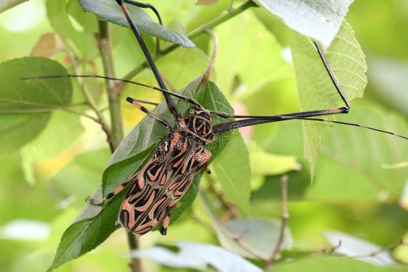 Escarabajo del Harlequin foto de archivo libre de regalías
