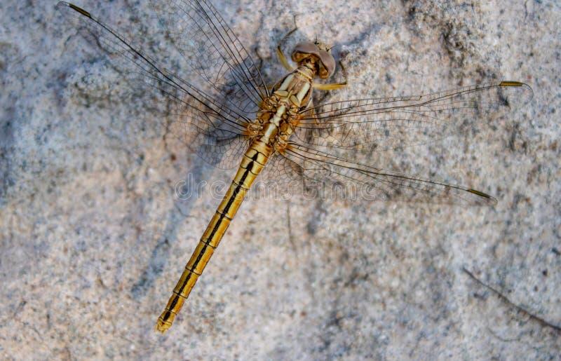Escarabajo del helicóptero, insectos de vuelo de la libélula fotografía de archivo