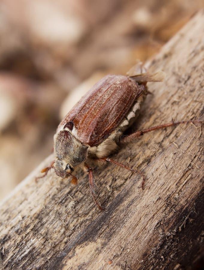 Escarabajo del insecto de la flor del espino fotos de archivo