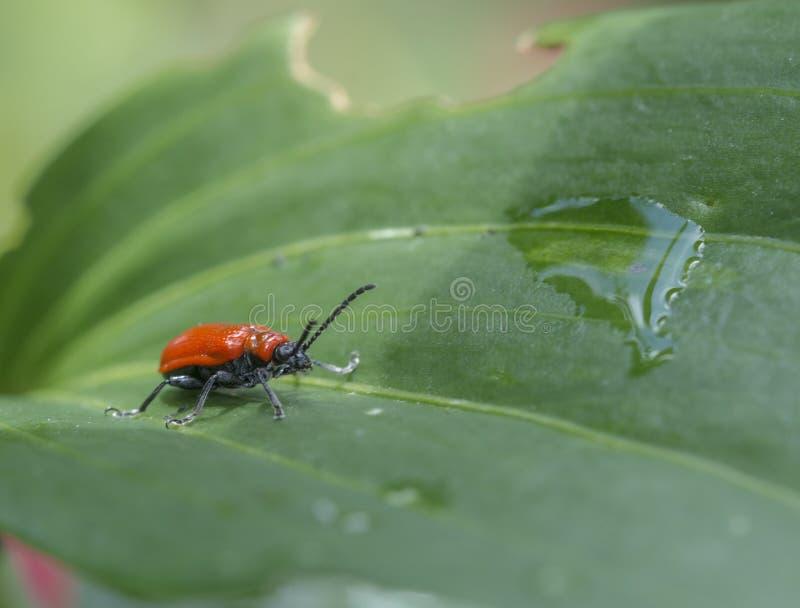 Escarabajo del lirio del escarlata, escarabajo rojo del lirio, o escarabajo de hoja del lirio fotografía de archivo libre de regalías