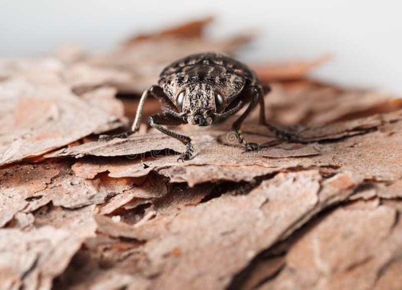 Escarabajo del perforador en corteza del pino foto de archivo libre de regalías