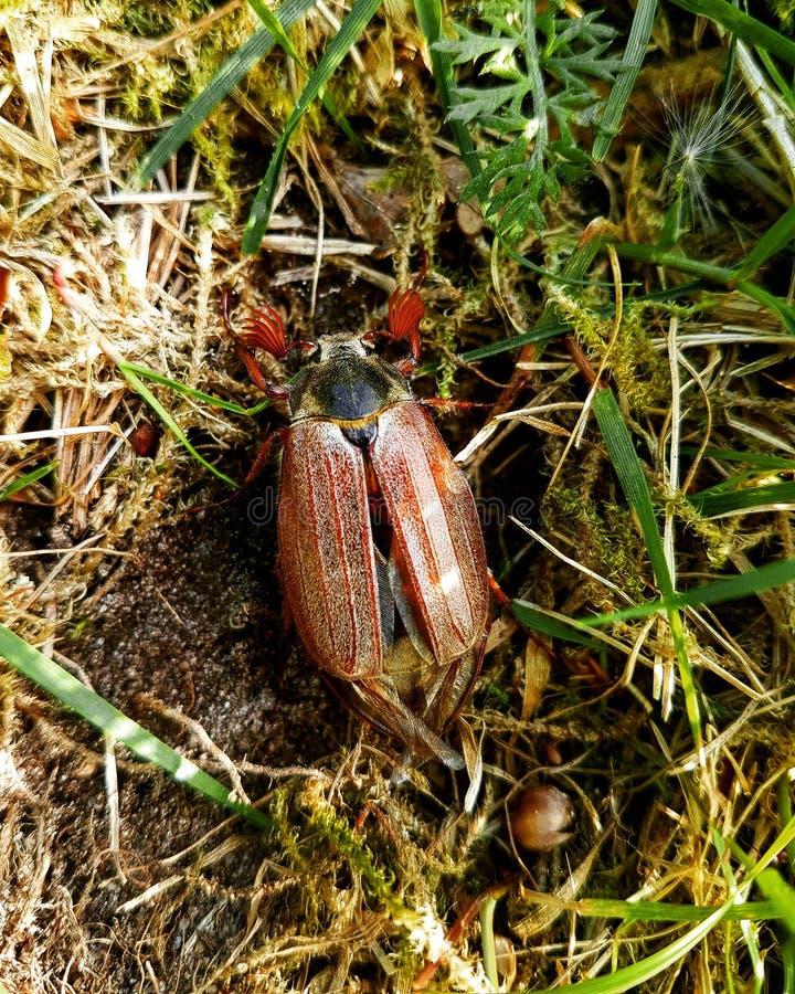 Escarabajo en la hierba foto de archivo libre de regalías