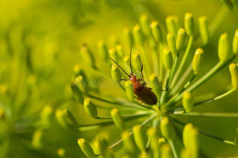 Escarabajo en las flores amarillas fotografía de archivo
