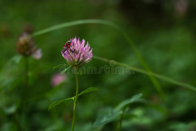 Escarabajo en trébol rosado en el jardín imagenes de archivo