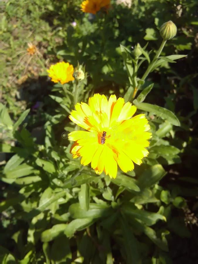 Escarabajo en un calendula de la flor foto de archivo libre de regalías