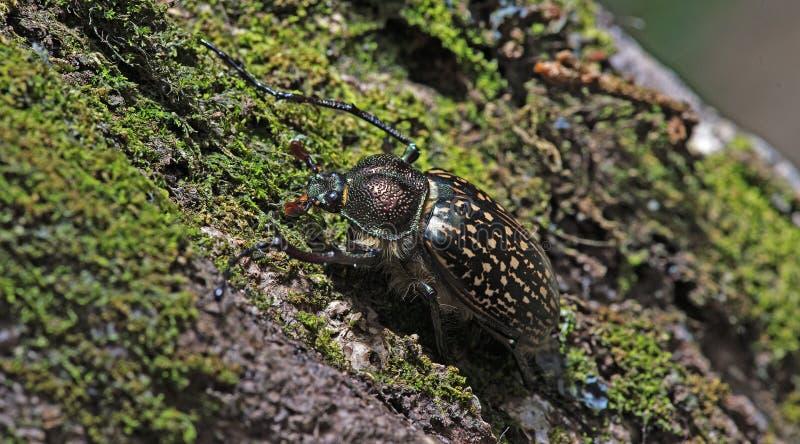 Escarabajo, escarabajo hermoso, escarabajo de Tailandia imagen de archivo libre de regalías