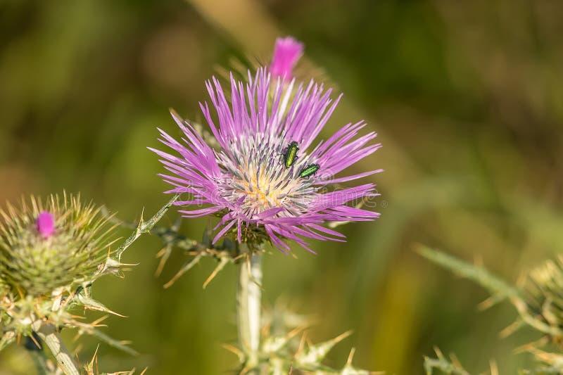 escarabajo Flor imagen de archivo