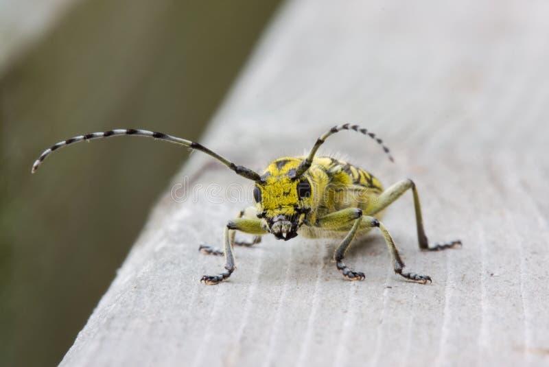Escarabajo grande de Longhorned del álamo fotos de archivo libres de regalías