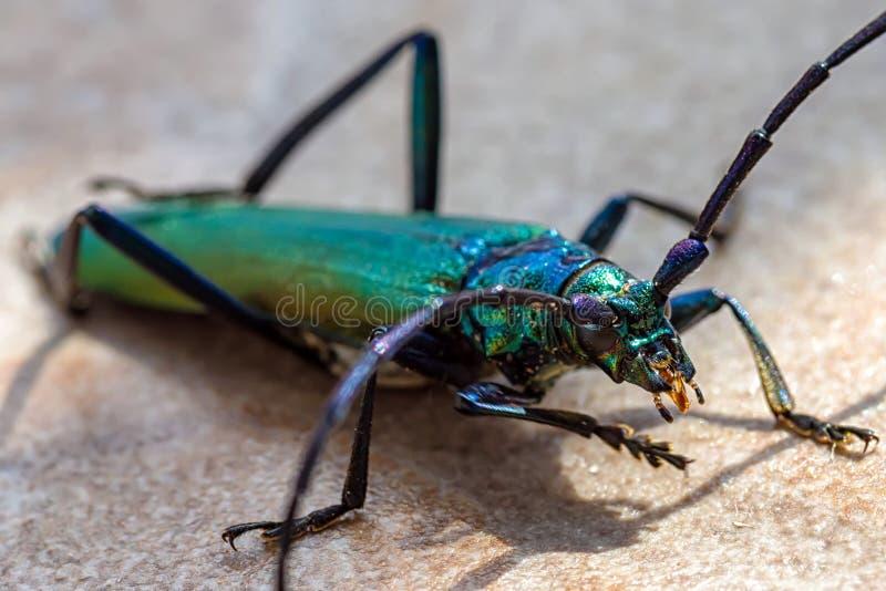 Escarabajo grande del almizcle fotos de archivo