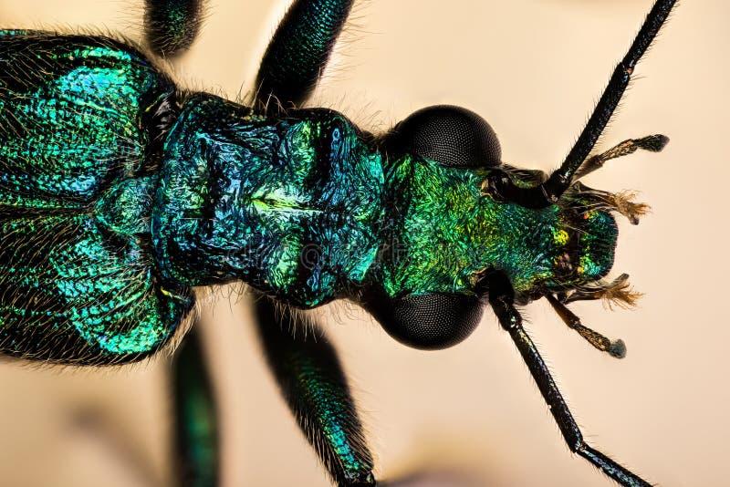 Escarabajo hinchado-thighed, escarabajo Grueso-legged de la flor, escarabajo de aceite falso, nobilis de Oedemera foto de archivo libre de regalías