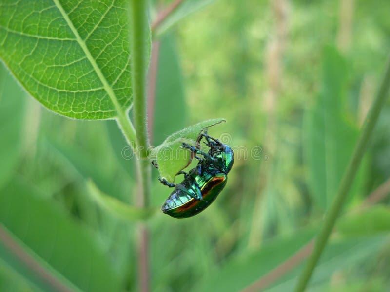 Escarabajo iridiscente metálico brillante del Apocynum androsaemifolium imagen de archivo libre de regalías