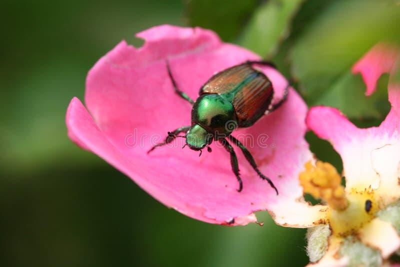 Escarabajo japonés fotos de archivo