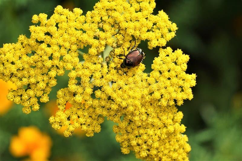 Escarabajo japonés alimentándose de flores amarillas foto de archivo libre de regalías
