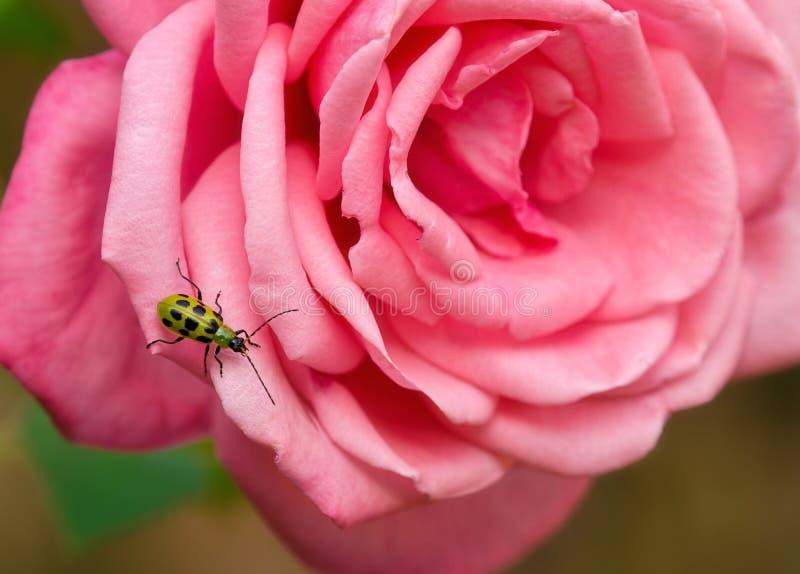 Escarabajo manchado del pepino foto de archivo libre de regalías