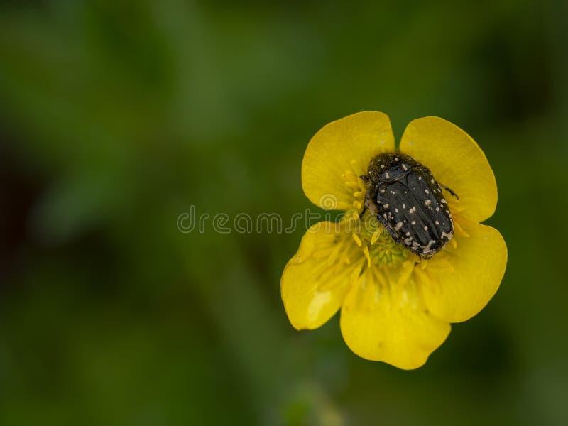 Escarabajo melenudo del polen Hirta de Tropinota, hirta de Epicometis En la flor del ranúnculo fotografía de archivo