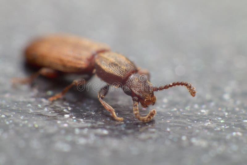 Escarabajo mercantil del grano en la opinión blanca del fondo del lado Oryzaephilus mercator fotos de archivo libres de regalías