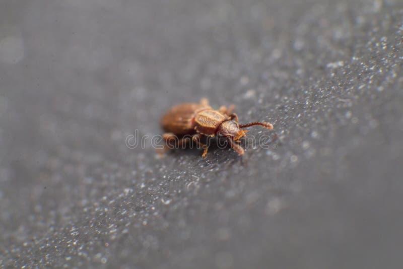 Escarabajo mercantil del grano en la opinión blanca del fondo del lado Oryzaephilus mercator fotos de archivo