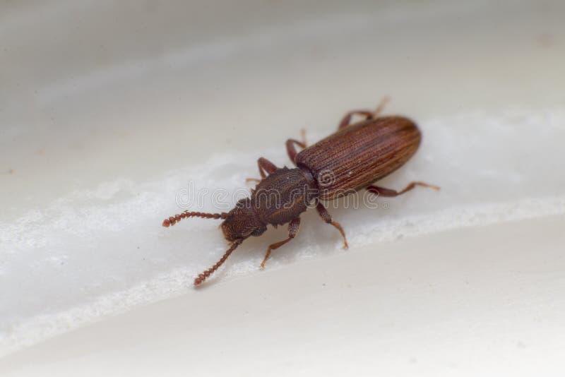 Escarabajo mercantil del grano en la opinión blanca del fondo del lado Oryzaephilus mercator fotografía de archivo libre de regalías