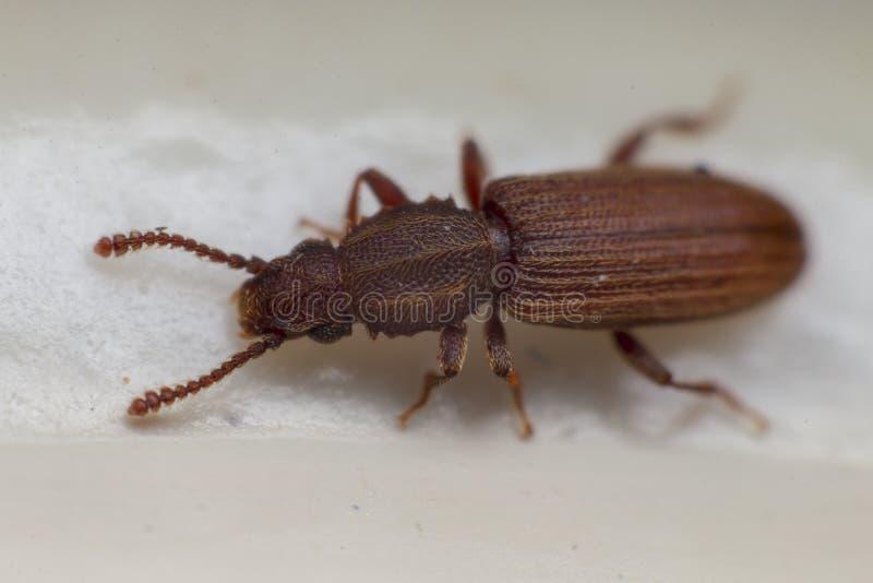 Escarabajo mercantil del grano en la opinión blanca del fondo del lado Oryzaephilus mercator imagenes de archivo