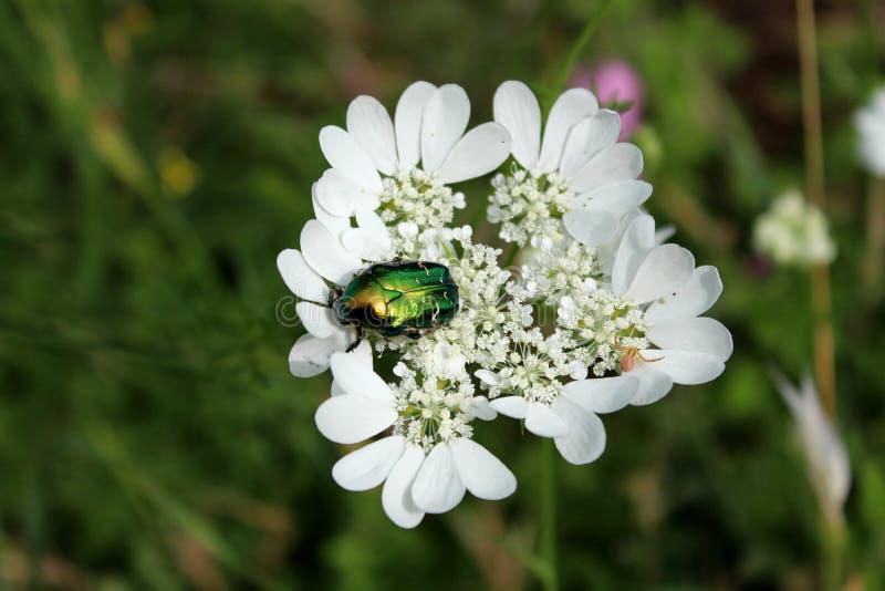 Escarabajo metálico brillante verde de oro que se sienta encima de los pétalos abiertos de las flores blancas en jardín local fotos de archivo libres de regalías