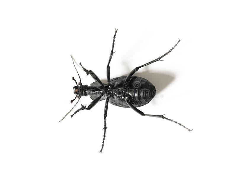 Escarabajo negro y violeta grande aislado en el fondo blanco fotografía de archivo