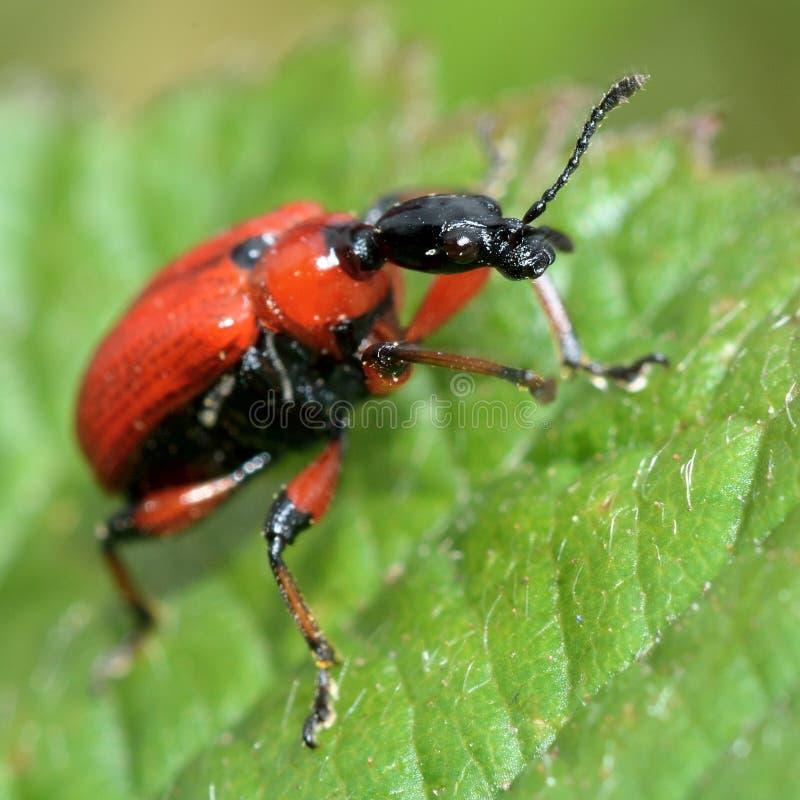 Escarabajo pardo del hoja-rodillo (coryli de Apoderus) imagenes de archivo