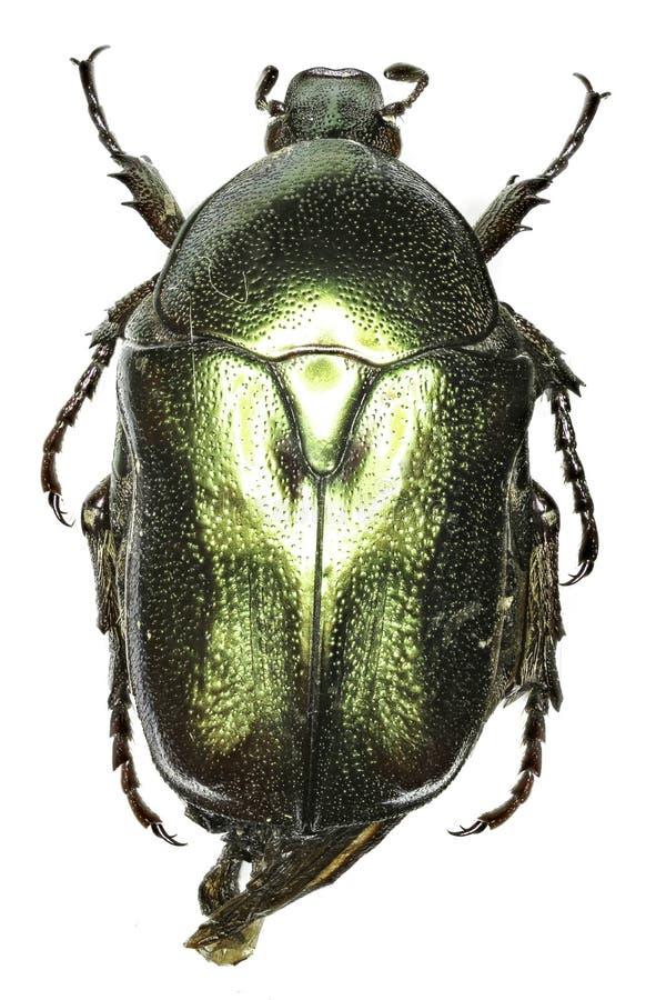 Escarabajo Protaetia de la flor en el fondo blanco fotografía de archivo libre de regalías