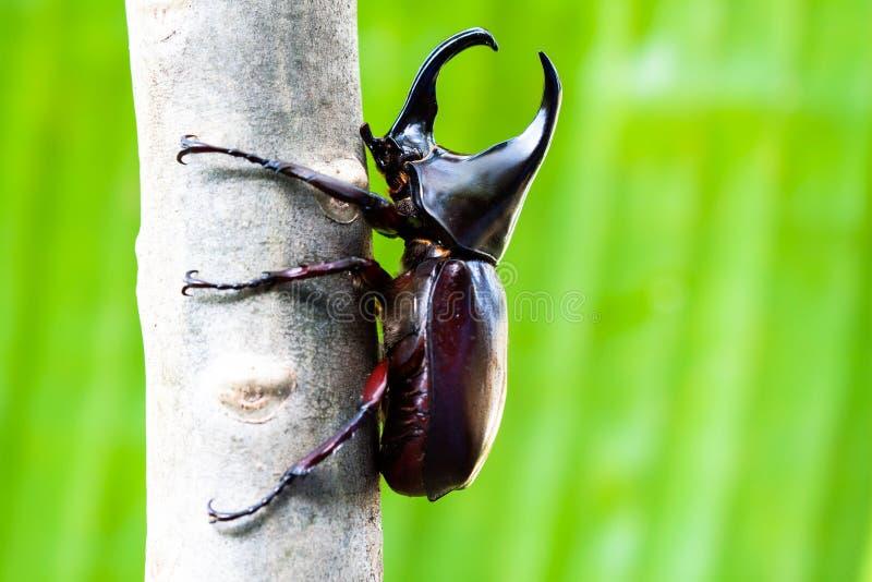 Escarabajo que lucha masculino (escarabajo de rinoceronte) en árbol fotos de archivo libres de regalías