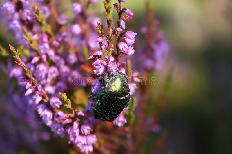 Escarabajo que recoge el néctar fotos de archivo