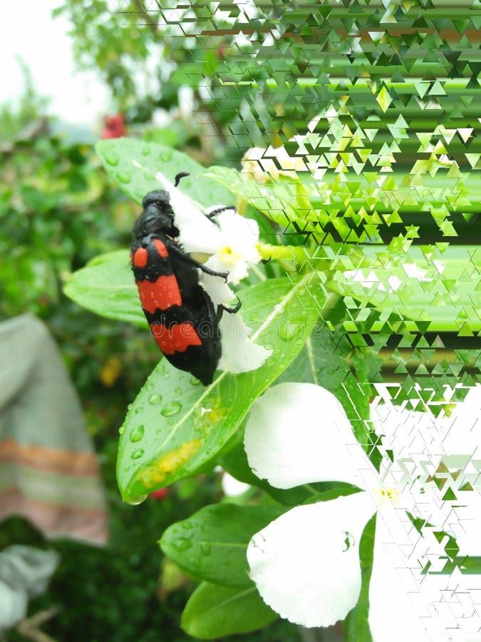 Escarabajo rojo foto de archivo libre de regalías