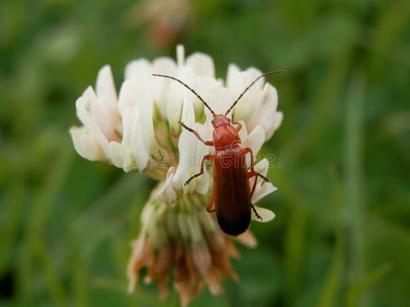 Escarabajo rojo foto de archivo