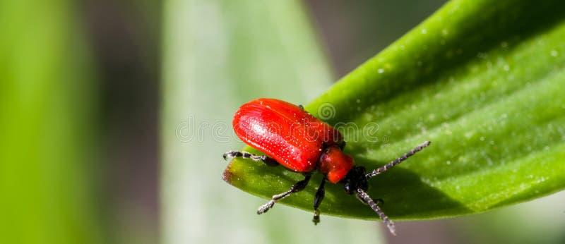 Escarabajo rojo brillante del lirio que se sienta en una hoja del lirio fotografía de archivo libre de regalías