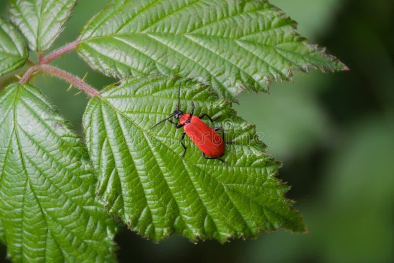 Escarabajo rojo del lirio fotos de archivo