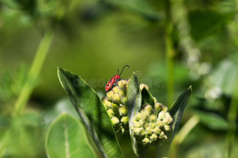 Escarabajo rojo del Milkweed (tetrophthalmus de los tetrodos) foto de archivo libre de regalías