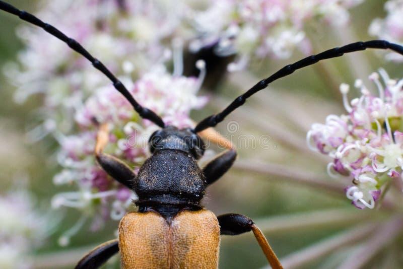 Escarabajo rojo marrón del fonolocalizador de bocinas grandes fotografía de archivo