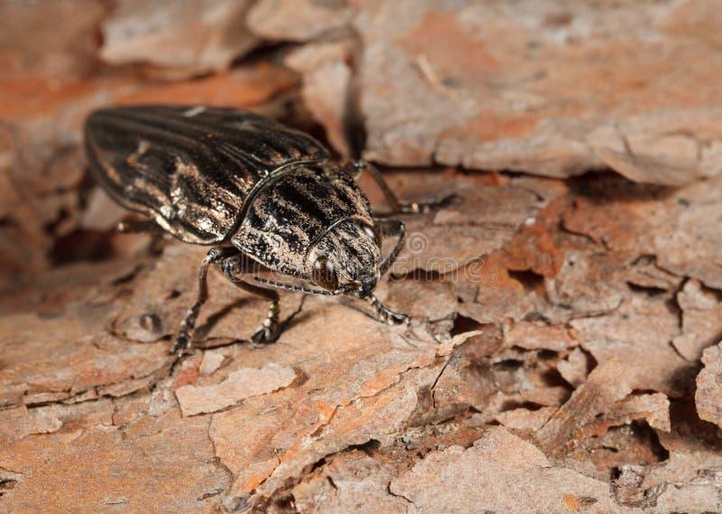 Escarabajo sobre corteza fotografía de archivo